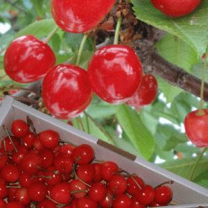 佐藤錦は甘みが強く酸味との調和がよい山形を代表する人気品種。ご案内の商品は大きさは不揃い(M・Lサイ...
