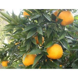 「岡野農園」淡路島産なるとオレンジ(5kg)|hyogo-tokusanhin