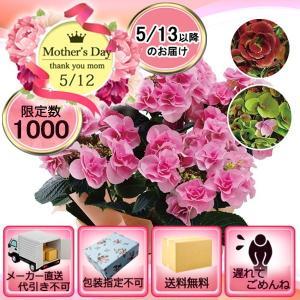 メーカー直送 母の日 色移りアジサイ鉢植え フェアリーアイ  「遅れてごめんね」対応商品|i-chie