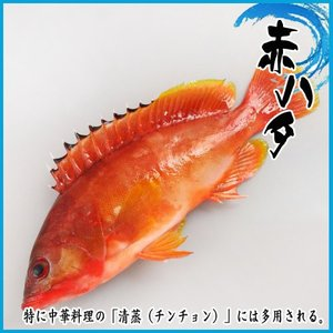 赤ハタ 1kg 2尾前後 ★築地|i-ichiba
