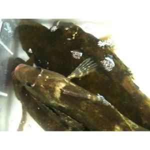 活アイナメ 1尾約900g-1kg あいなめ|i-ichiba