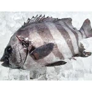 【業務用】千葉県産 活〆イシダイ600g-1kg 1尾 石鯛|i-ichiba