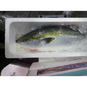 佐渡ブリ1尾 10kg前後  3枚卸お発送致します!  大きさや地方によって呼び方が変わる魚です。 ...
