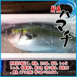 【業務用】活〆ハマチ 鮮魚 1尾 3.8kg以上 鰤