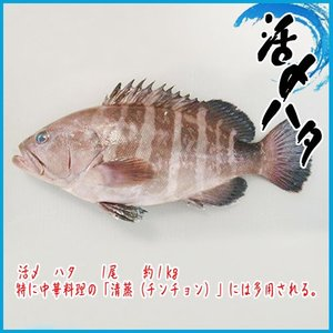 活〆 ハタ  1尾  約1kg  ★築地|i-ichiba