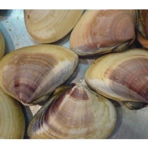 旬の味! 超特大 活地はまぐり 1kg (約4-7個) 千葉県産 ビックリはまぐり はまぐり ハマグリ 蛤★築地|i-ichiba