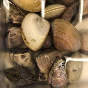 旬の味! 中サイズ3−5人前 活 地はまぐり 250g 蛤 小又は中サイズ 国産 ハマグリ お試し|i-ichiba