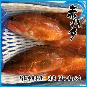 業務用  赤ハタ 3kg  約4〜6尾前後 ★高級魚|i-ichiba