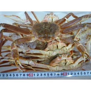 【送料無料】活ズワイガニ 約3kg 約4-5尾 ズワイ ずわい ズワイ蟹 ずわい蟹 ずわいがに