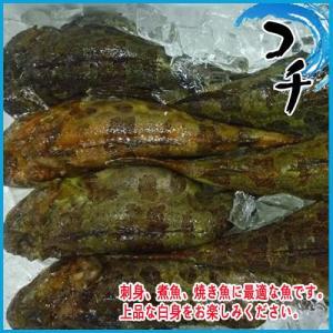 コチ 1kg    約1〜2尾 こち|i-ichiba