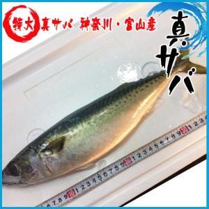 特大 真サバ 神奈川・富山産 一尾900 g 鯖 さば|i-ichiba