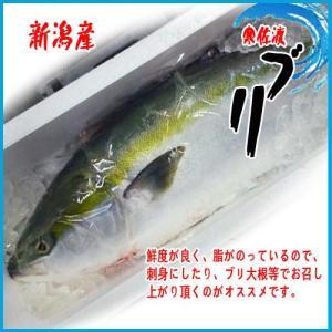 初ブリ新潟産 寒佐渡ブリ 1尾 約5kg−6kg 一本物|i-ichiba