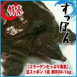 すっぽん 活スッポン 1匹 約800-1kg 【コラーゲンたっぷり美肌】★築地|i-ichiba