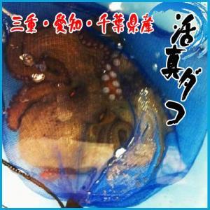 活天然真ダコ 1尾1.5kg前後 三重・愛知・千葉県産 たこ 蛸 i-ichiba
