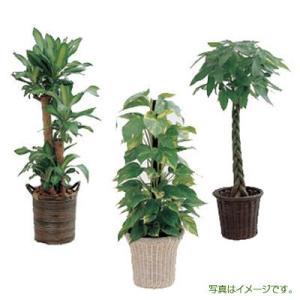 お花屋さんがお届け!観葉植物 花キューピットの観葉植物(おまかせ)|i879