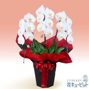 花鉢(胡蝶蘭・洋蘭) 花キューピットの胡蝶蘭 3本立(開花輪白18以上)赤系ラッピング|i879