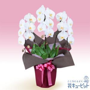 花鉢(胡蝶蘭・洋蘭) 花キューピットの胡蝶蘭 3本立(開花輪白18以上)ピンク系ラッピング|i879