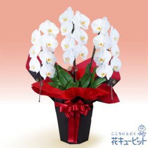 花鉢(胡蝶蘭・洋蘭) 花キューピットの胡蝶蘭 3本立(開花輪白21以上)赤系ラッピング|i879