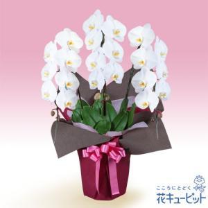 花鉢(胡蝶蘭・洋蘭) 花キューピットの胡蝶蘭 3本立(開花輪白21以上)ピンク系ラッピング|i879