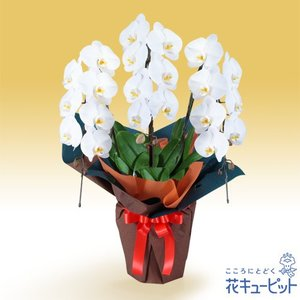 花鉢(胡蝶蘭・洋蘭) 花キューピットの胡蝶蘭 3本立(開花輪白21以上)オレンジ系ラッピング|i879