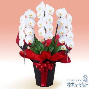 花鉢(胡蝶蘭・洋蘭) 花キューピットの胡蝶蘭 3本立(開花輪白24以上)赤系ラッピング|i879