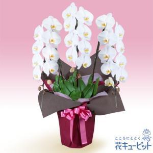 花鉢(胡蝶蘭・洋蘭) 花キューピットの胡蝶蘭 3本立(開花輪白24以上)ピンク系ラッピング|i879
