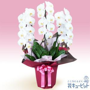 花鉢(胡蝶蘭・洋蘭) 花キューピットの胡蝶蘭 3本立(開花輪白27以上)ピンク系ラッピング|i879