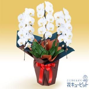 花鉢(胡蝶蘭・洋蘭) 花キューピットの胡蝶蘭 3本立(開花輪白27以上)オレンジ系ラッピング|i879