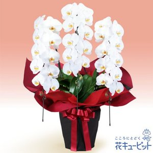 花鉢(胡蝶蘭・洋蘭) 花キューピットの胡蝶蘭 3本立(開花輪白30以上)赤系ラッピング|i879