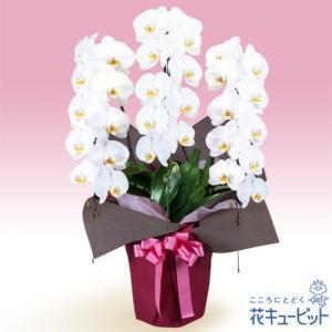 花鉢(胡蝶蘭・洋蘭) 花キューピットの胡蝶蘭 3本立(開花輪白30以上)ピンク系ラッピング|i879