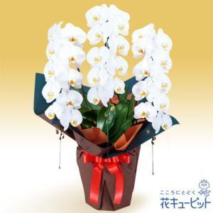 花鉢(胡蝶蘭・洋蘭) 花キューピットの胡蝶蘭 3本立(開花輪白30以上)オレンジ系ラッピング|i879