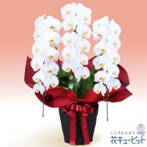 花鉢(胡蝶蘭・洋蘭) 花キューピットの胡蝶蘭 3本立(開花輪白33以上)赤系ラッピング|i879