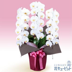 花鉢(胡蝶蘭・洋蘭) 花キューピットの胡蝶蘭 3本立(開花輪白33以上)ピンク系ラッピング|i879