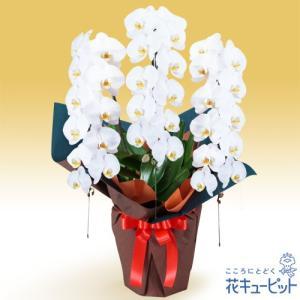花鉢(胡蝶蘭・洋蘭) 花キューピットの胡蝶蘭 3本立(開花輪白33以上)オレンジ系ラッピング|i879