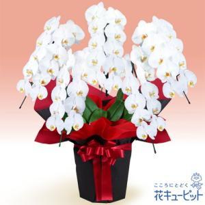 花鉢(胡蝶蘭・洋蘭) 花キューピットの胡蝶蘭 5本立(開花輪白50以上)赤系ラッピング|i879