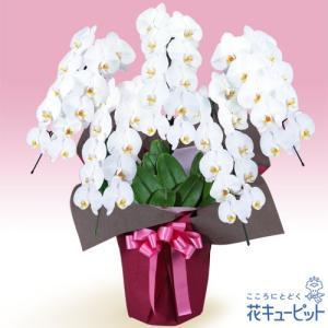 花鉢(胡蝶蘭・洋蘭) 花キューピットの胡蝶蘭 5本立(開花輪白50以上)ピンク系ラッピング|i879