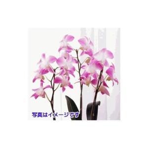 花鉢(胡蝶蘭・洋蘭) 花キューピットの洋蘭鉢物 i879