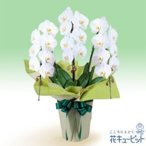 花鉢(お供え胡蝶蘭) 花キューピットのお供え胡蝶蘭 3本立(開花輪白21以上) i879