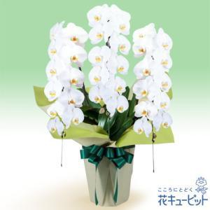 花鉢(お供え胡蝶蘭) 花キューピットのお供え胡蝶蘭 3本立(開花輪白33以上)|i879