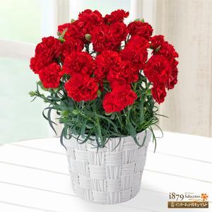母の日産直ギフト 花キューピットの幸せの赤カーネーション鉢...