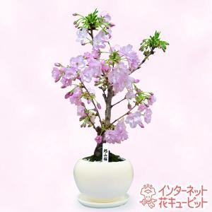 産直鉢物(さくら鉢) 花キューピットの旭山桜 i879