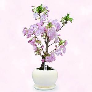 ひな祭り 産直鉢物 花キューピットの旭山桜 i879