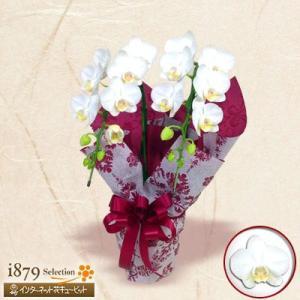 モテギ洋蘭園胡蝶蘭・お祝い 花キューピットのミディ胡蝶蘭 スーパーアマビリス2本立(16輪前後)|i879