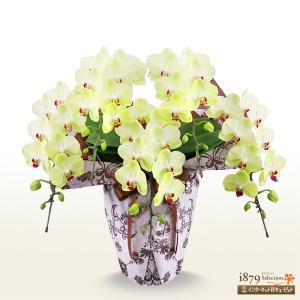 モテギ洋蘭園胡蝶蘭・お祝い 花キューピットのミディ胡蝶蘭 フォーチュン5本立(46輪前後)|i879