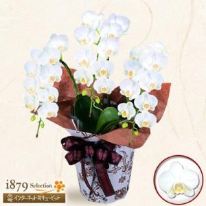 モテギ洋蘭園胡蝶蘭・お祝い 花キューピットのミディ胡蝶蘭 スーパーアマビリス3本立(28輪前後)|i879