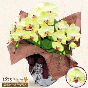 モテギ洋蘭園胡蝶蘭・お祝い 花キューピットのミディ胡蝶蘭 フォーチュン3本立(30輪前後)|i879