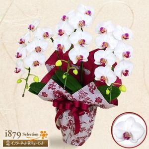 モテギ洋蘭園胡蝶蘭・お祝い 花キューピットのミディ胡蝶蘭 タイアン3本立(30輪前後)|i879