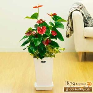 産直 観葉植物(通年) 花キューピットのアンスリウムとゴットの寄せ鉢(白鉢) i879
