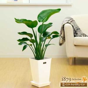産直 観葉植物(通年) 花キューピットのオーガスタ(白鉢) i879