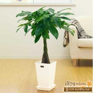 産直 観葉植物(通年) 花キューピットのパキラ(白鉢) i879